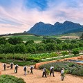 3.  CHEFS MARCHING OUT TO GO HARVEST IN THE KITCHEN GARDEN copy