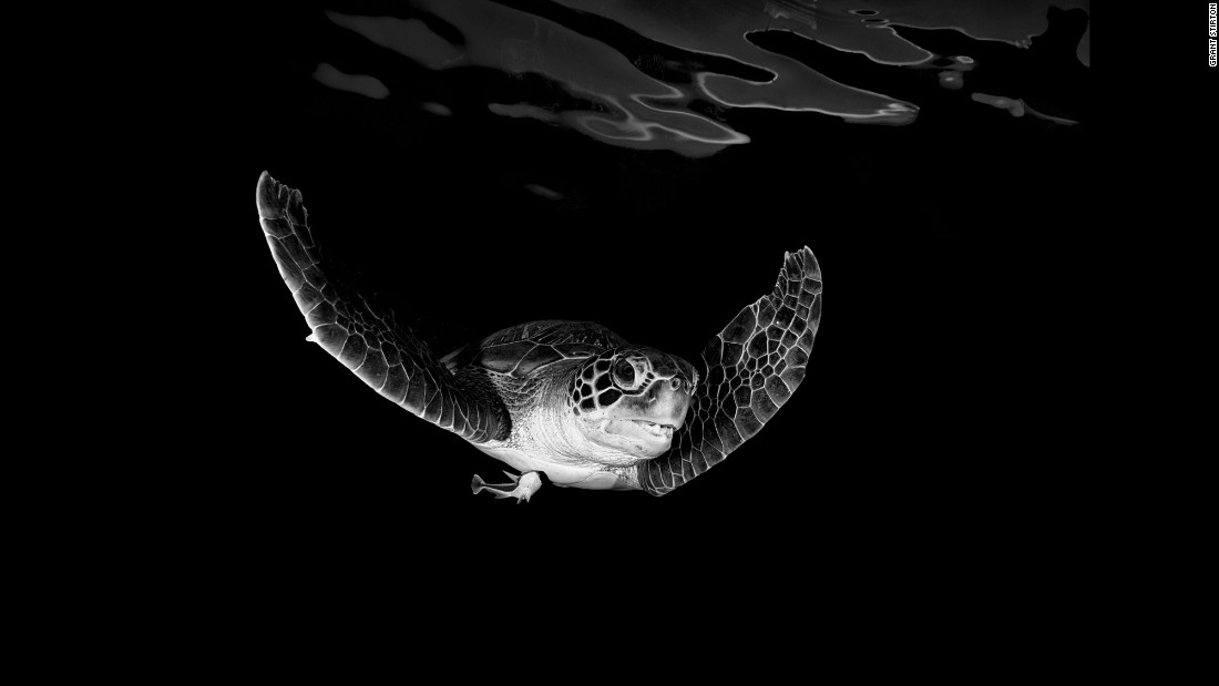 Oscar the sea turtle was a frequent visitor near the dock in Thailand where Grant Stirton's tour company stored their boat. Stirton jumped in the water to snap the turtle's portrait.