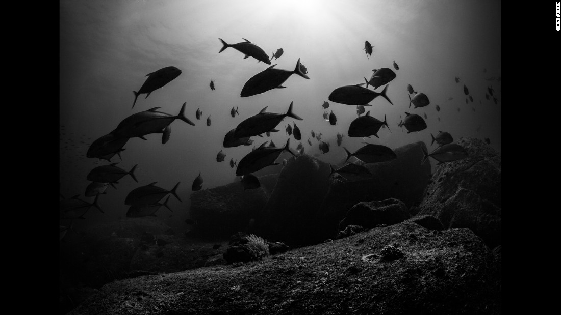 Bigeye trevallies hunt at sunset among shallow rocky coral.