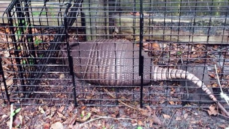 Armadillos blamed for leprosy increase in Florida