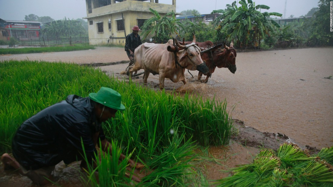 An Indian farmer uses a pair of bulls to plow a paddy field while another prepares rice seedlings for replanting as monsoon rains fell on the outskirts of Mumbai, India, on July 21. Monsoon rains are crucial for Indian agriculture, as nearly 60 percent of its farmland is rainfed.