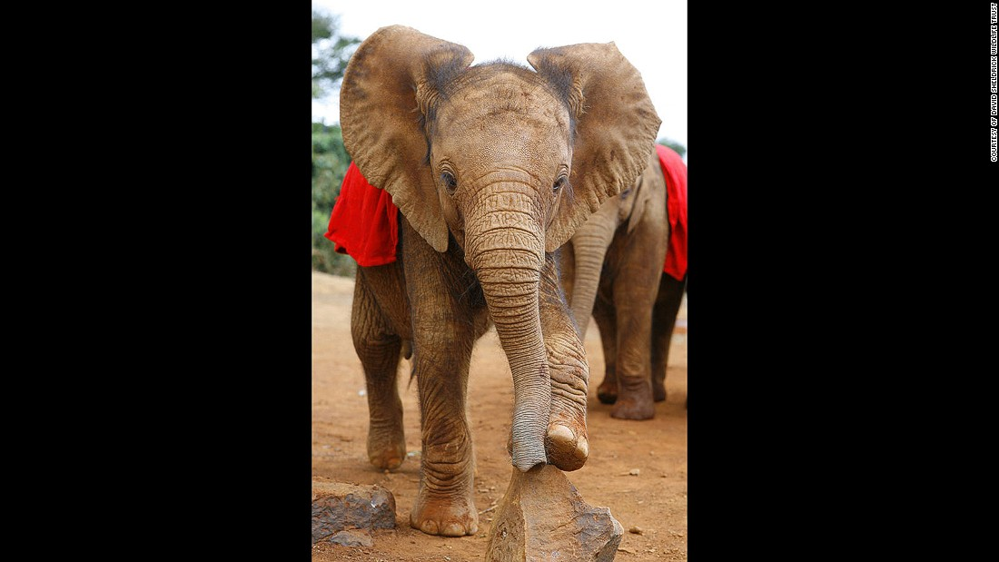 The David Sheldrick Wildlife Trust in Nairobi rescues and rehabilitates orphaned elephants and rhinos with the aim of returning them to the wild. You can foster one for $50 a year.