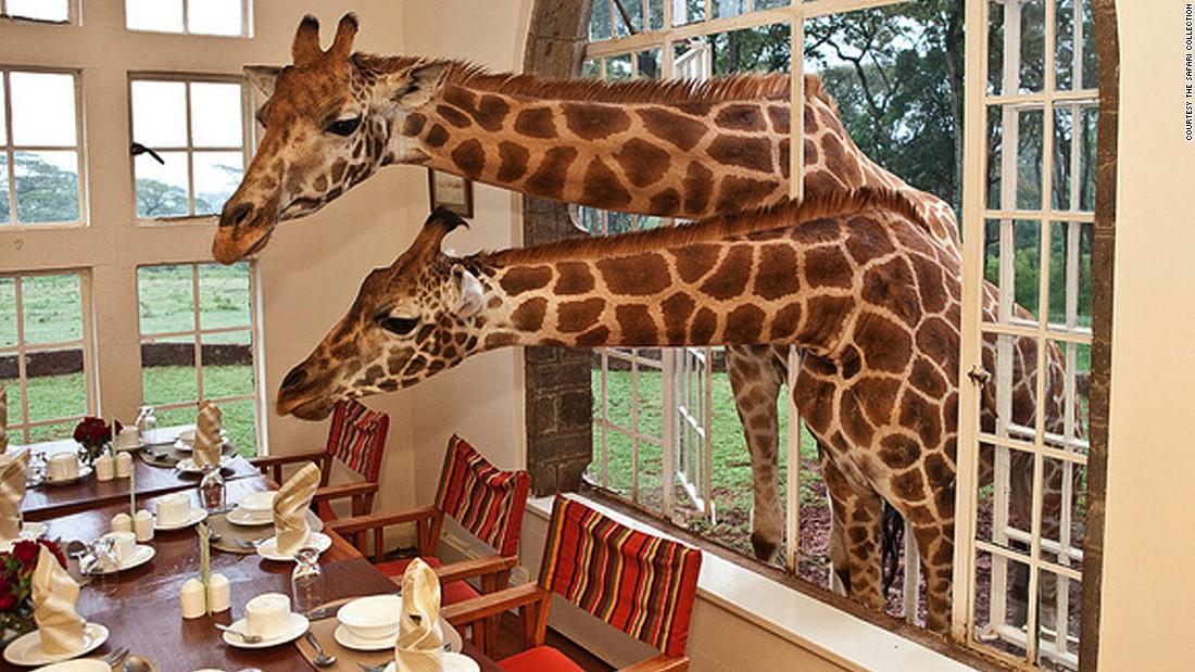 At Nairobi's Giraffe Manor hotel, you can get up close to giraffes, warthogs, dik diks, birds and bushbuck.