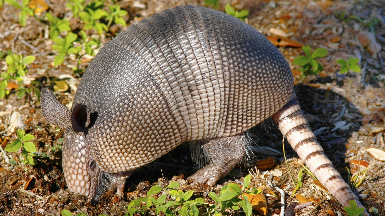 can a bullet ricochet off an armadillo