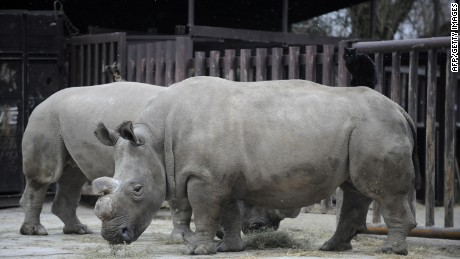 Only four northern white rhinos are left