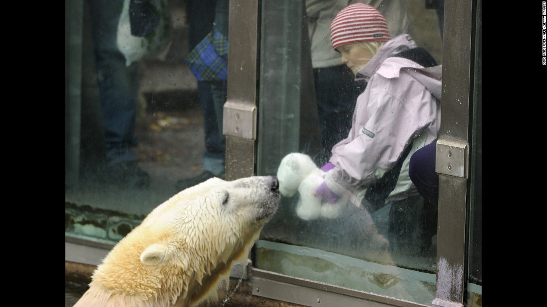 "Knut the polar bear was a star at the Berlin Zoo despite a rough start in life. As a cub, he was abandoned by his mother, but a zookeeper hand-raised him to adulthood. <a href=""http://www.cnn.com/2011/WORLD/europe/03/21/germany.knut.dies/"">His death of encephalitis in 2011</a>, when he was 4, shocked fans. ""Knut was something very special,"" said a zoo board member."