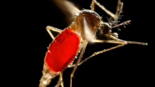Dengue fever: How a mosquito infected millions, and not with malaria