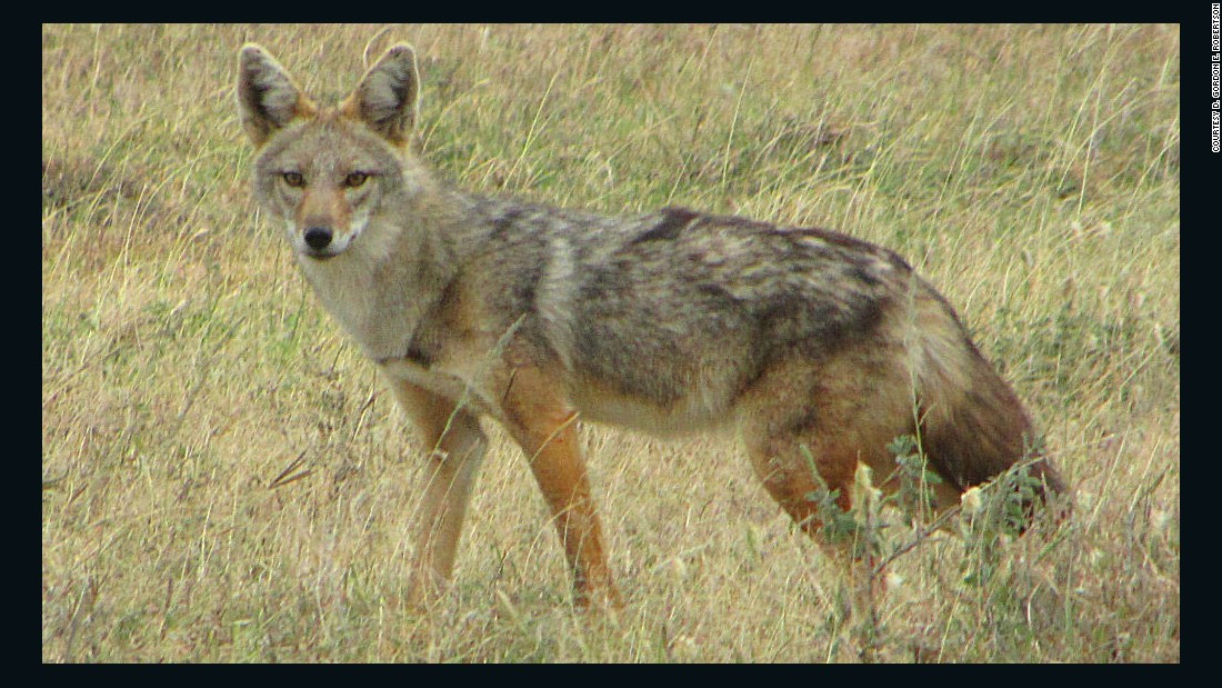 "Researchers say this animal, which is found in Africa, is a different species from the golden jackal, Canis aureus. They <a href=""http://www.cnn.com/2015/08/01/world/african-golden-wolf-feat/index.html"">propose renaming</a> it the African golden wolf, or Canis anthus."