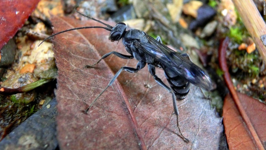 The bone-house wasp, discovered in China's Gutianshan National Nature Reserve, has an appropriately creepy name. To protect her young, the female bone-house wasp build nests with several cells. She then proceeds to kill spiders and place them in each cell for her future young to eat. After she lays an egg in a spider tomb, she seals it and continues onto the next one. She fills the final cell with dead ants, whose corpses emit chemicals that camouflage the nest.