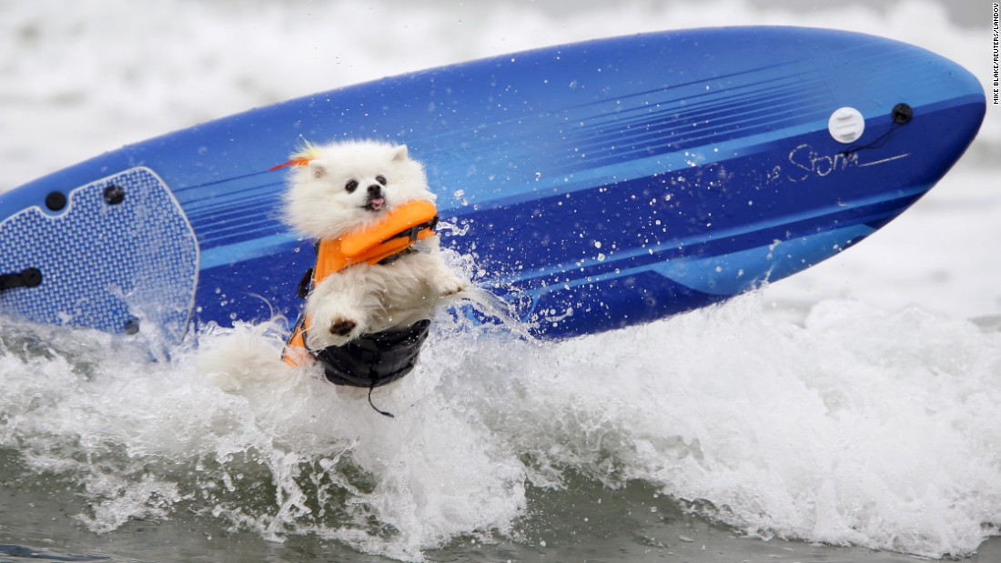 Ziggy, an American Eskimo Dog, crashes on a wave while competing in the Petco Unleashed surfing competition Saturday, August 1, in Imperial Beach, California. All proceeds from the event went to the San Diego Humane Society.
