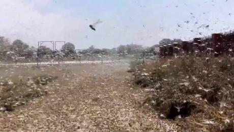 Russia locust invasion plague agriculture farmer pkg chance_00000611