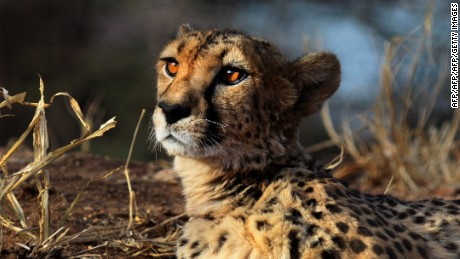 A cheetah lies at The Cheetah Conservation Fund (CCF) center in Otjiwarongo, Namibia, on August 13, 2013.