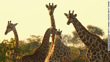 Giraffes at the Mashatu game reserve on July 27, 2010 in Mapungubwe, Botswana.