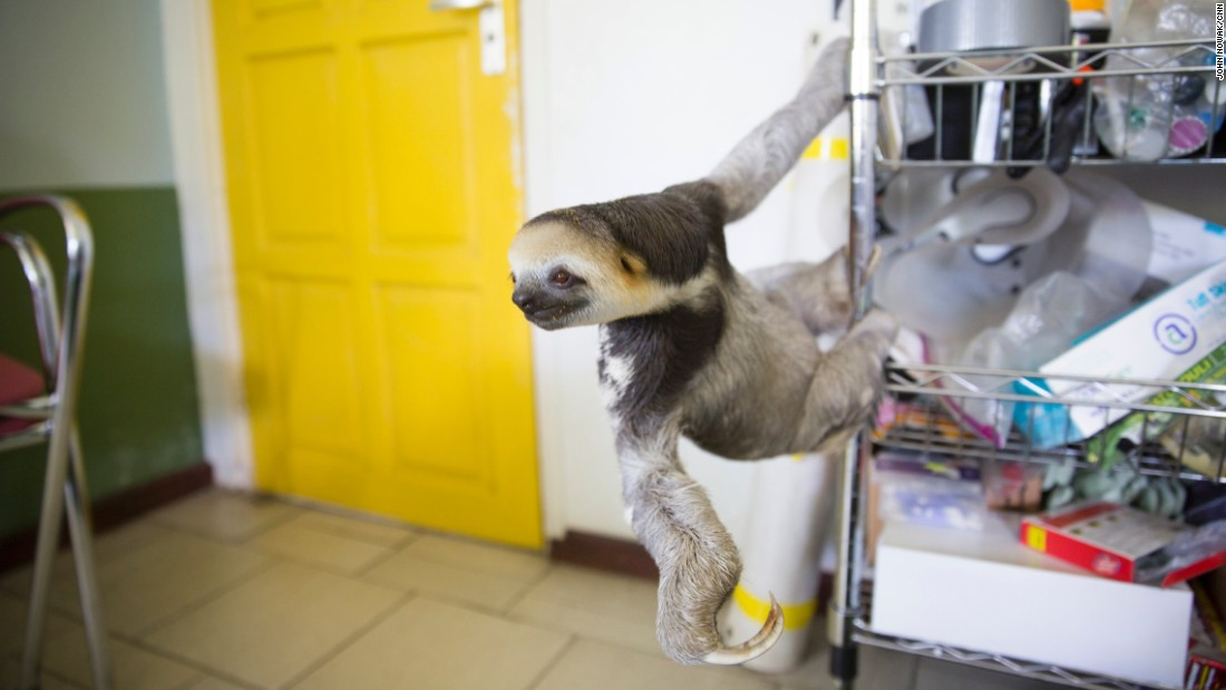 """My biggest rescue ever was in 2012 when we heard about this plot of land that was going to be cleared,"" Pool said. The group rescued 200 animals, including around 160 sloths. They jokingly called it ""Slothageddon -- sloth armageddon."" ""During that time, it was really a bit weird to live here because there were sloths everywhere: in my living room, in cages, in my garage. Dozens of volunteers were helping."""
