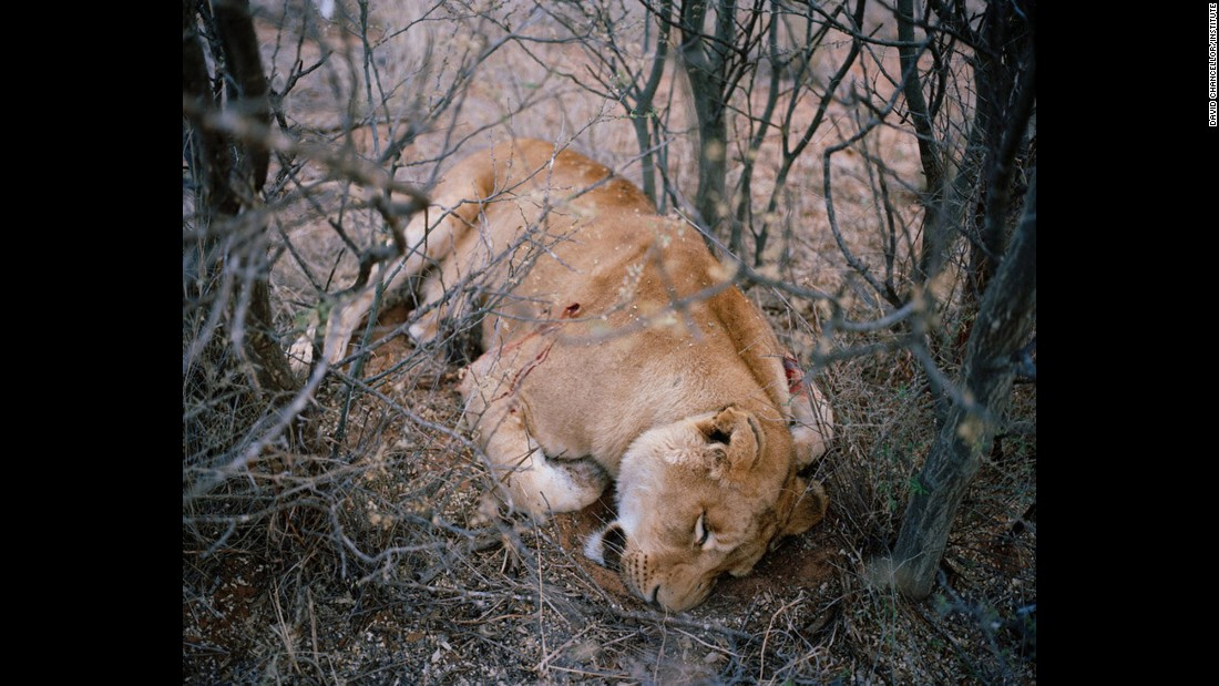 Lioness No. 1, South Africa.