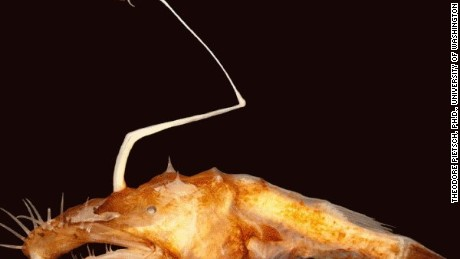 "The new species of Ceratioid anglerfish lives in dark ocean depths nicknamed the ""midnight zone"""