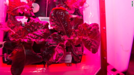 """Outredgeous"" red romaine lettuce is seen growing in the space station's Veggie plant growth system."
