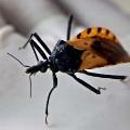 chagas bug