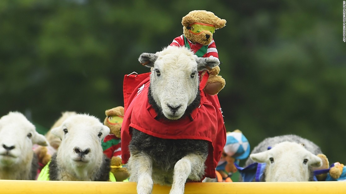 "A Herdwick sheep from the Lamb National team jumps a fence during the launch of the International Agility Festival on Thursday, August 13, at Rockingham Castle near Market Harborough, England. <a href=""http://www.cnn.com/2015/08/14/world/gallery/week-in-photos-0813/index.html"" target=""_blank"">See more amazing images from ""The week in 35 photos.""</a>"
