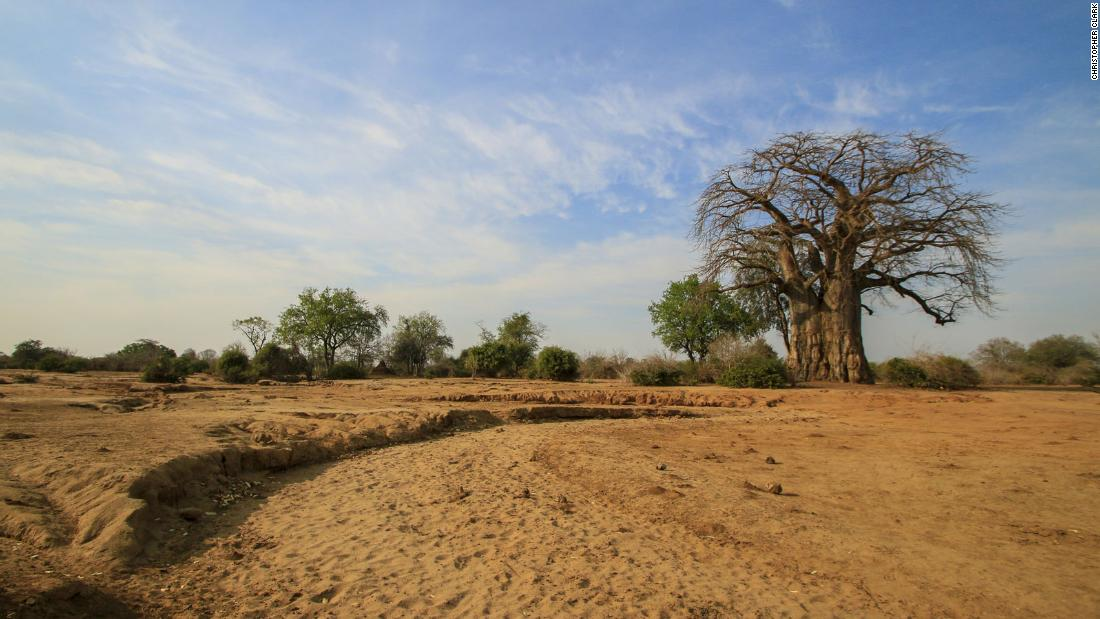 A baobab tree stands on the Lower Zambezi National Park. The park is a great place for tracking lions.
