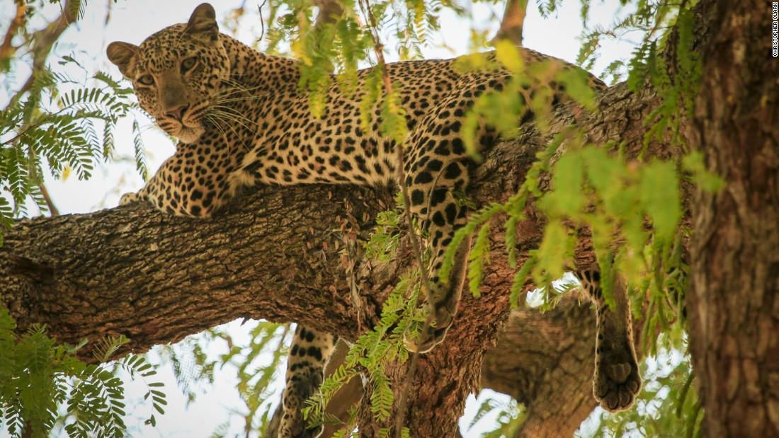 South Luangwa National Park has one of the highest density of big game anywhere in Africa, and is a famous destination for leopard sightings.
