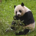 mei xiang national zoo