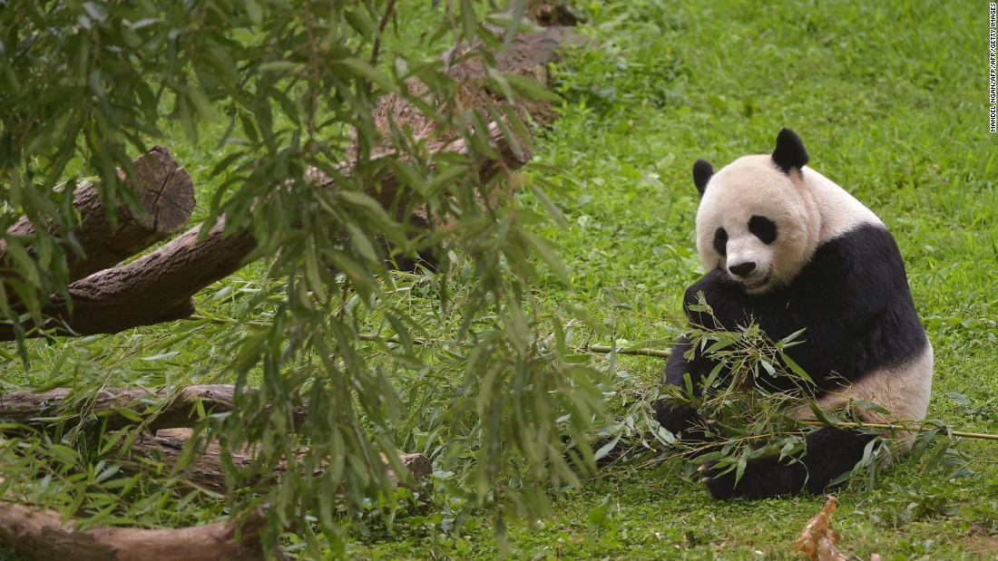 Mei Xiang, one of the National Zoo's giant pandas, gave birth to twin cubs on August 22, 2015.