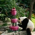 pandas tai shan birthday
