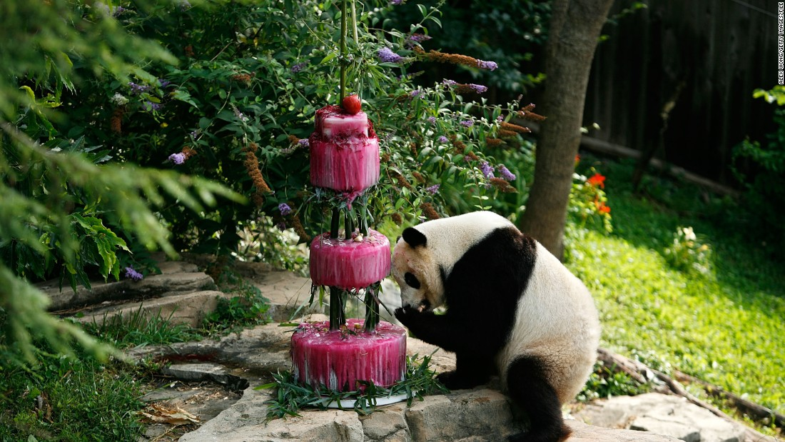 Tai Shan checks out his fourth birthday cake on July 9, 2009, at the National Zoo in Washington.