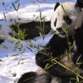 pandas tai shan snow