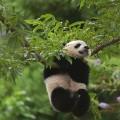 panda bao bao