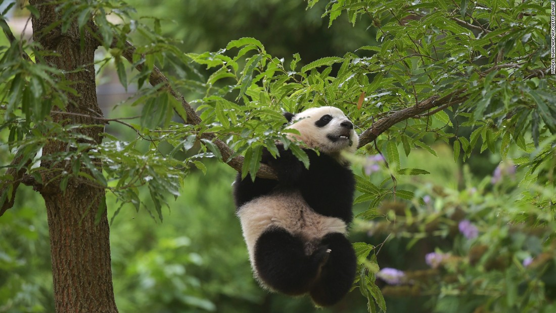 Mei Xiang's second surviving cub was born on August 23, 2013. Bao Bao's a year old here and making the most of her climbing skills.