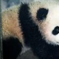panda baby bao bao