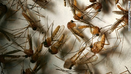 "HEMET, CA - APRIL 26:  A field sample of mosquitoes that could carry West Nile Virus is seen at offices of the Riverside County Department of Environmental Health on April 26, 2007 in Hemet, California. California health officials announced this week that West Nile Virus season is starting earlier than usual because of an unusually warm March. Mosquitoes that carry the virus have begun breeding earlier than usual and the West Nile Virus has been detected in mosquito pools, birds, or horses in eight California counties. Although the virus has not been detected in humans so far this year, 24 people have died and 1,200 sickened by the virus over the past two years in California. West Nile can be transmitted from infected birds, squirrels, and other animals to humans and animals such as horses through several varieties of female mosquitoes. The disease first appeared in the United States in 1999 in New York and killed hundreds of people during its westward expansion before gaining a firm foothold in California in 2004. In reaction to the early start of West Nile Virus season, the California State Legislature this week declared April 23-29 ""West Nile Virus and Mosquito and Vector Control Awareness Week"". The effected counties include Imperial, Los Angeles, Orange, Riverside, Santa Clara, San Diego, Sonoma and Stanislaus.   (Photo by David McNew/Getty Images)"