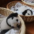 04 baby pandas