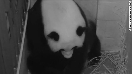 giant panda mei xiang gives birth to cub _00002805