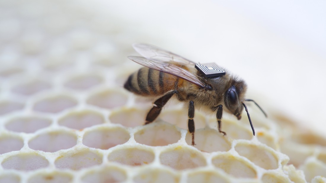 A sensor is placed onto the back of a drone bee. Data gathered by the Global Initiative for Honey bee Health (GIHH) will provide valuable information to scientists, beekeepers, primary producers, industry groups and governments to achieve impacts around improved biosecurity measures, crop pollination, bee health, food production and better strategies on sustainable farming practices, food security and impacts on ecosystems in general.