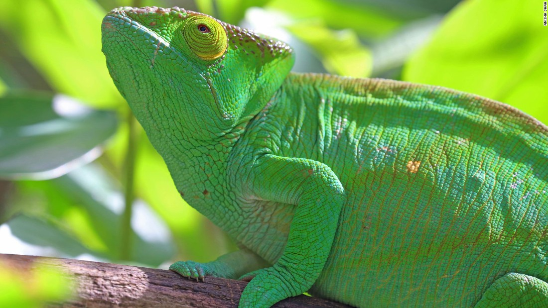 Almost half of the world's chameleon species live on Madagascar. Like the lemur, their habitat is threatened by deforestation.