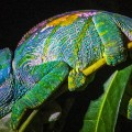 Madagascar 6 Chameleon Parsons Night