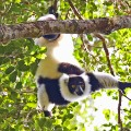 Madagascar 8 Lemur Black and White Ruffed