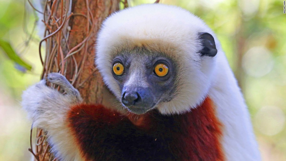 There are 107 known species and subspecies of lemur in Madagascar, including the Coquerel's sifaka (pictured). Tracking them is a thrilling adventure through a landscape of vast contrasts and changing climates.