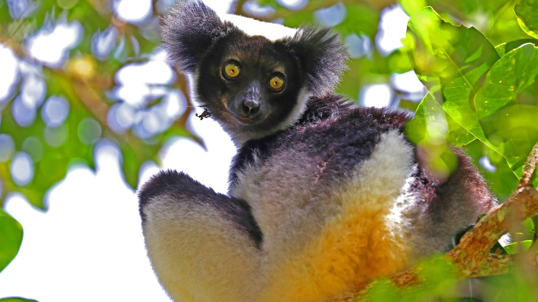 "Indri are the largest living species of lemur. The creature's Malagasy name is ""babakoto,"" meaning ""ancestor"" or ""father."""