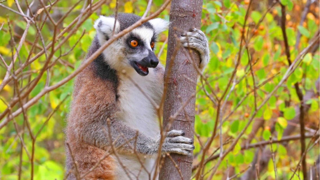 The ring-tailed lemur is the most recognizable species, due to its distinctive black and white ringed tail.
