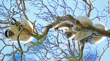 Verreaux's sifaka lemurs are one of 8,000 species endemic to Madagascar.