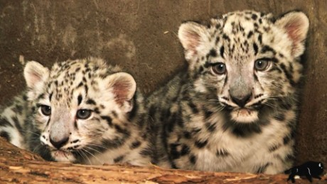 snow leopard cubs born vo_00000000