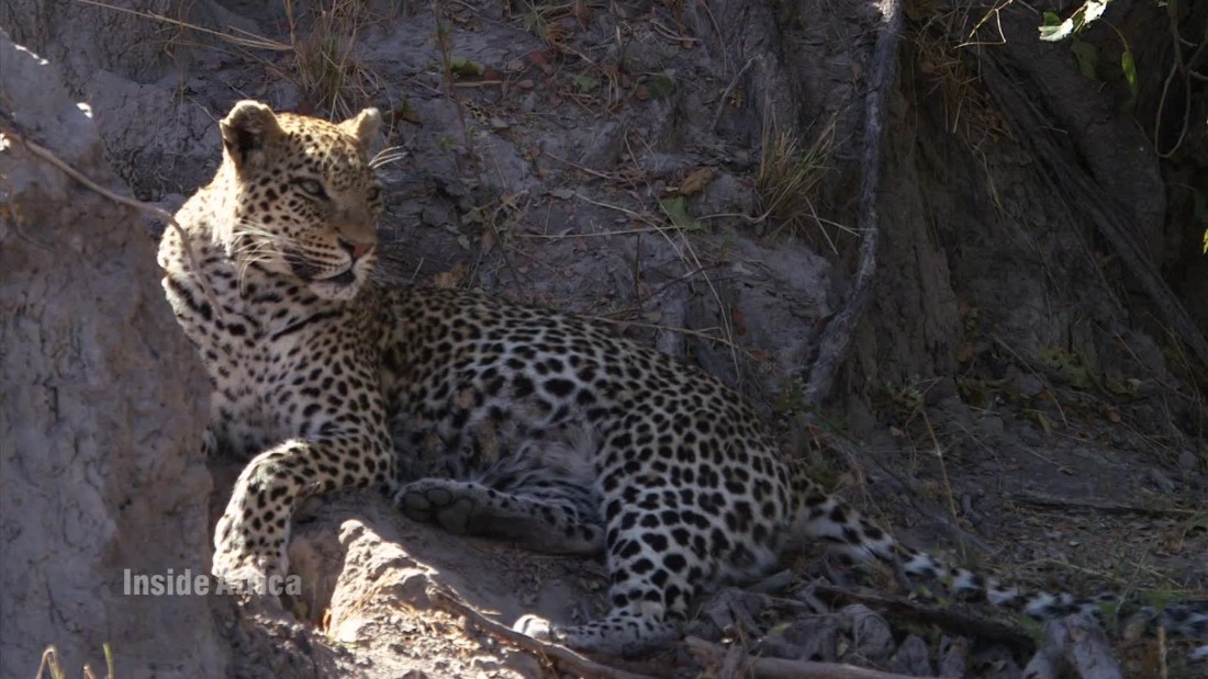Leopards are one of many animals commonly seen in the Delta.