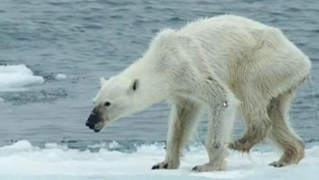 cnnee vo cafe warm change polar bear _00004208