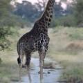giraffe okavango delta botswana