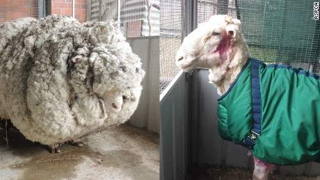 Before and after shots of Chris the sheep who was spotted by a bushwalker in the Mulligans Flats area near the NSW-ACT border.