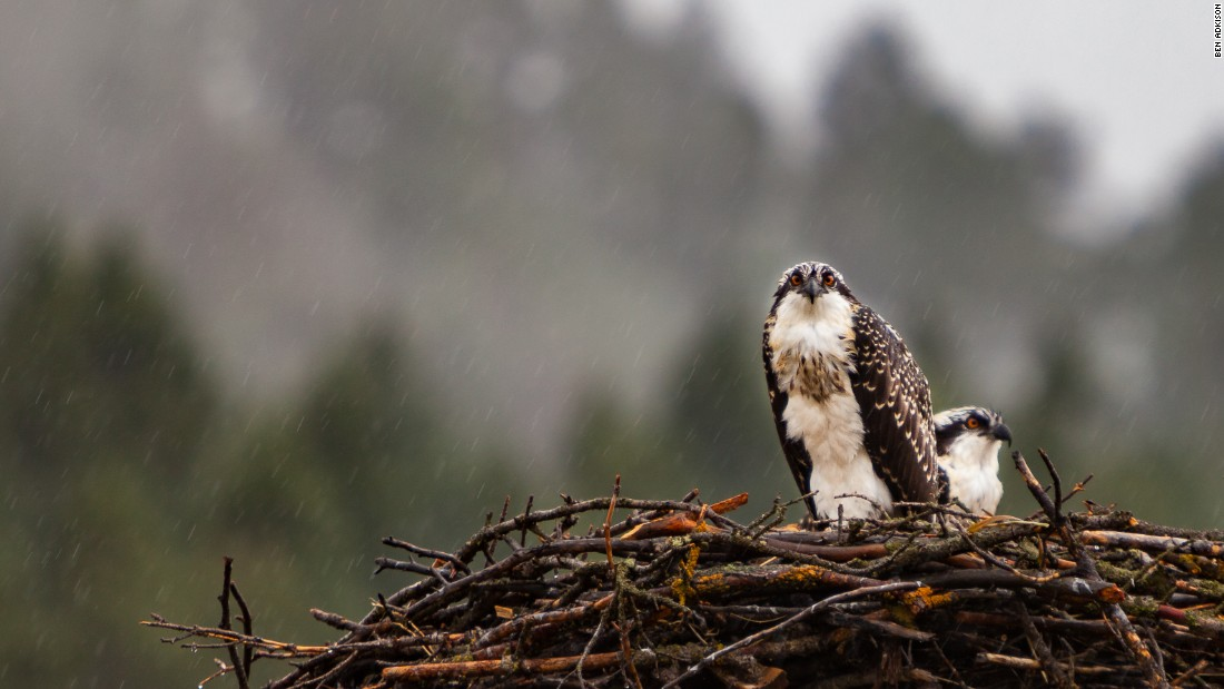 Montana is home to more than 400 different species of birds. These osprey are waiting out a rain shower before fishing for food.